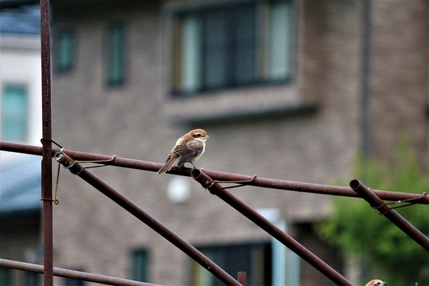 モズの幼鳥餌待ち