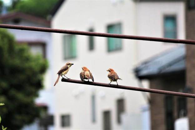 親鳥に餌をおねだり