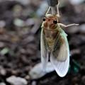 羽化した蝉の幼虫