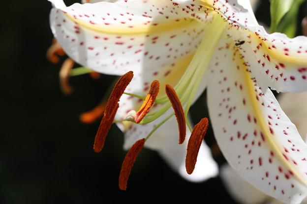 長く伸び出た褐色の雄蕊
