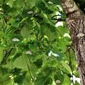 群生するヒョウモンエダシャク蝶