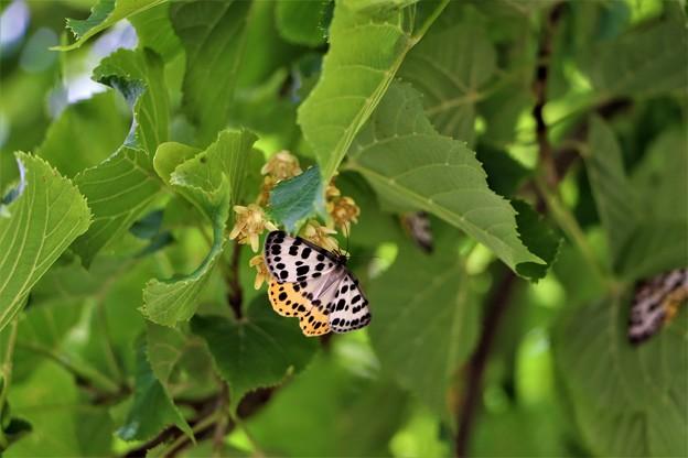 ヒョウモンエダシャク蝶