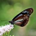 アサギマダラ蝶