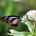 ヨツバヒヨドリにアサギマダラ蝶