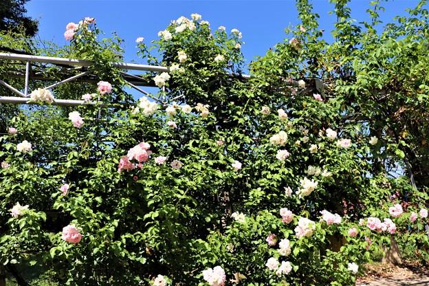 薔薇「ローゼンドルフシュパリースホープ」