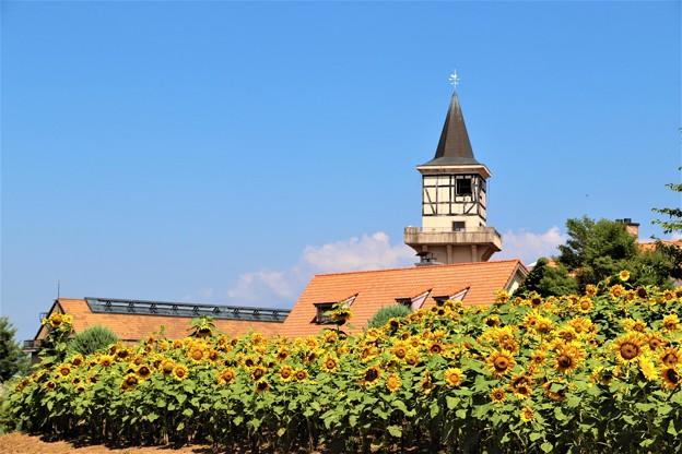パノラマ花壇のヒマワリ