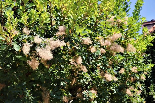 ハグマの木・スモークツリー