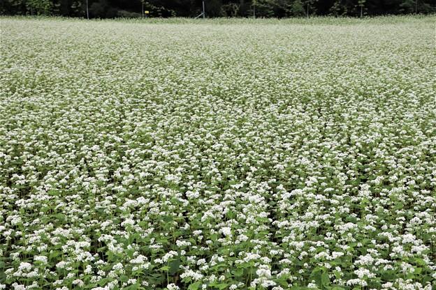 白い絨毯を敷き詰めたそば畑