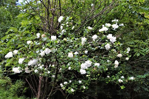 八重咲きムクゲ
