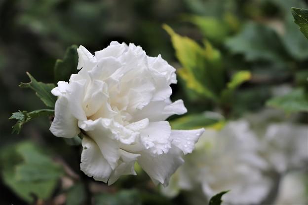 ムクゲの八重咲き