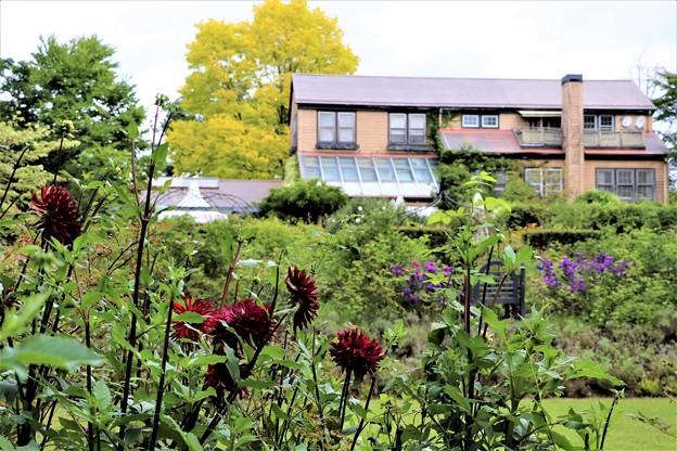 英国式庭園に咲くダリア
