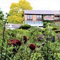 Photos: 英国式庭園に咲くダリア