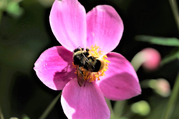 シュウメイギクに蜂