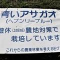 青いアサガオ「ヘブンリ―ブルー」栽培畑