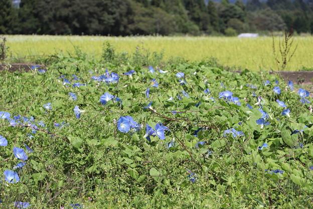 ヘブンリ―ブルー畑