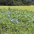 Photos: ヘブンリ―ブルー畑