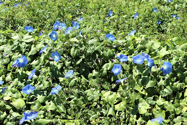 ヘブンリ―ブルー