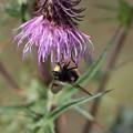 アザミに蜂