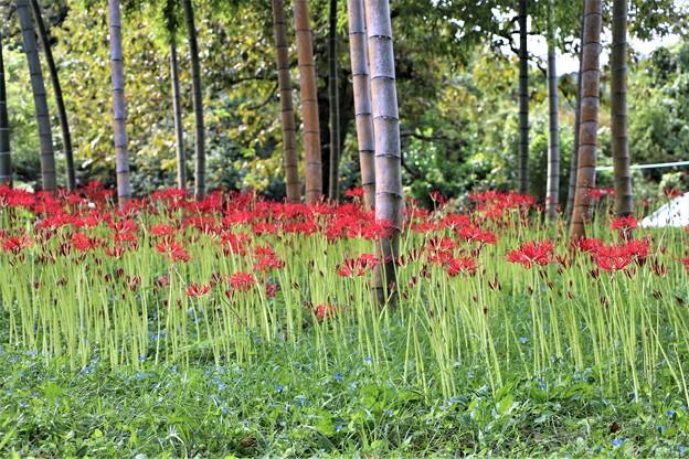 竹林に咲くヒガンバナ