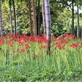 Photos: 竹林に咲くヒガンバナ