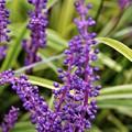 Photos: 斑入りヤブランの花