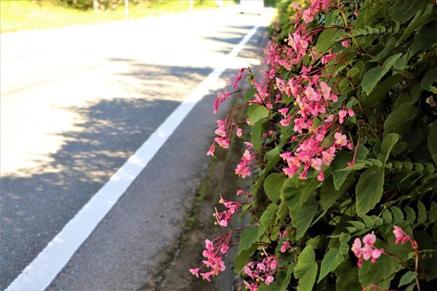 Photos: 國道沿いの石垣に咲くシュウカイドウ