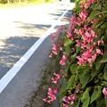 國道沿いの石垣に咲くシュウカイドウ