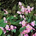 Photos: 石垣に咲くシュウカイドウ