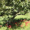 Photos: 栗畑のヒガンバナ