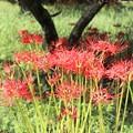 栗の木下にヒガンバナ