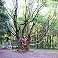 タブの大木