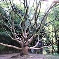 タブの大木の枝振り