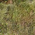 Photos: 星を散りばめた様なシラタマホシクサ
