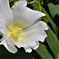 芙容の白花