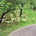 梅園散策路の彼岸花