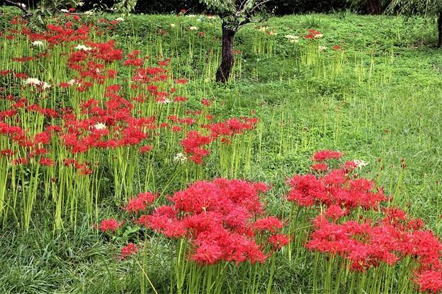 梅園の彼岸花