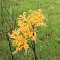 黄花咲き彼岸花