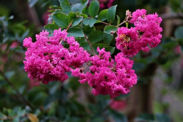 サルスベリ紅花