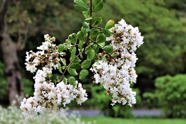 サルスベリ白花