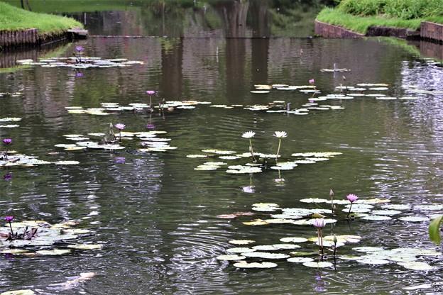 テラス池のスイレン
