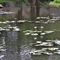 Photos: テラス池のスイレン