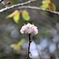 桜・春日井