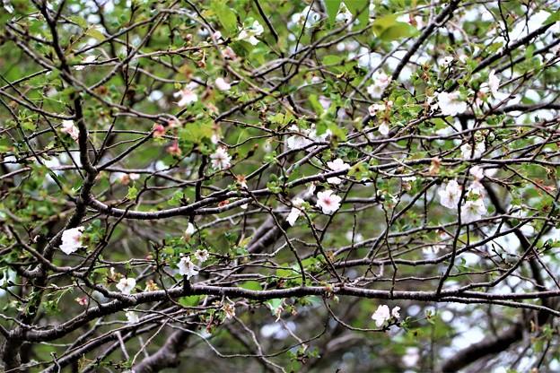 Photos: 桜・アーコレード