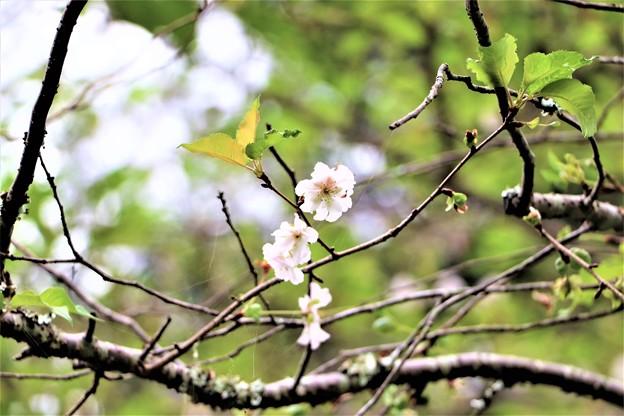 桜・アーコレード