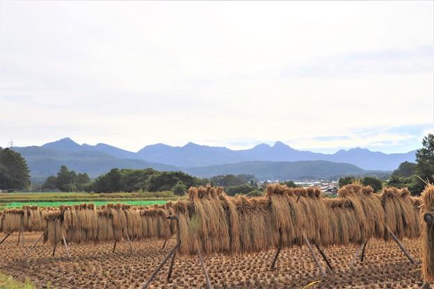 稲刈りも終わり、はざかけと八ヶ岳連峰
