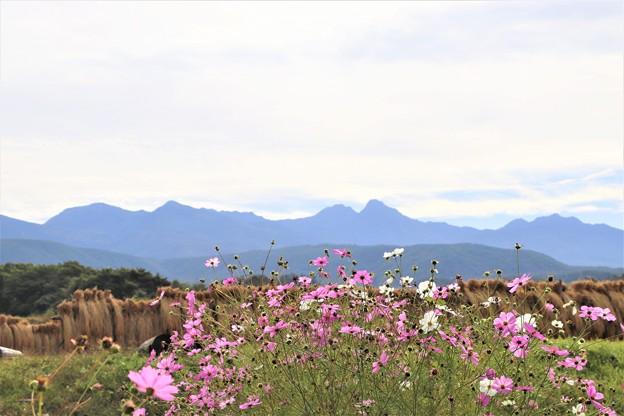コスモスと八ヶ岳連峰