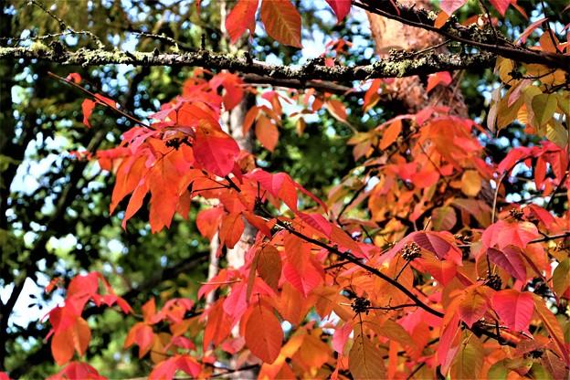 真赤に紅葉ツタウルシの葉