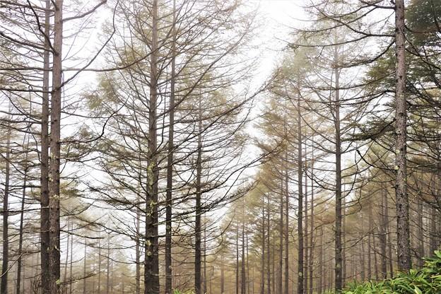 山腹のカラマツ林