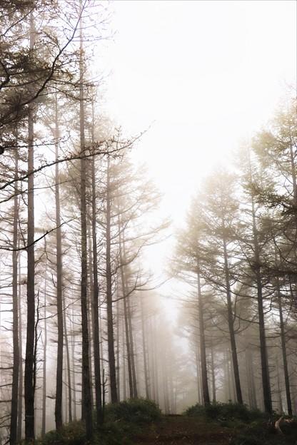 霧に包まれたカラマツ林