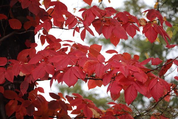 紅葉のツタウルシ